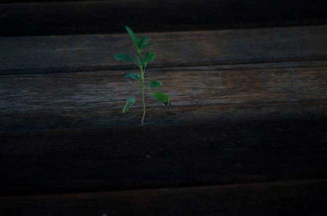 planta fugitiva